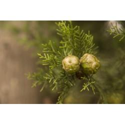ΑΙΘΕΡΙΟ ΕΛΑΙΟ ΚΥΠΑΡΙΣΣΙ  (Cypress oil)